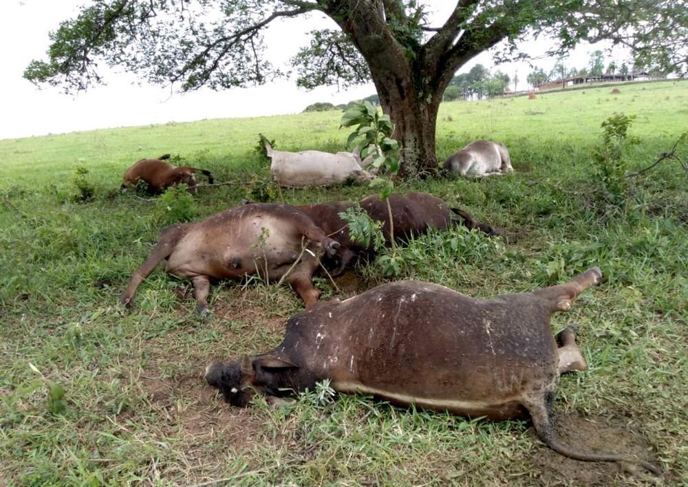 Raio mata bois que estavam embaixo de árvore de sítio em Itatinga