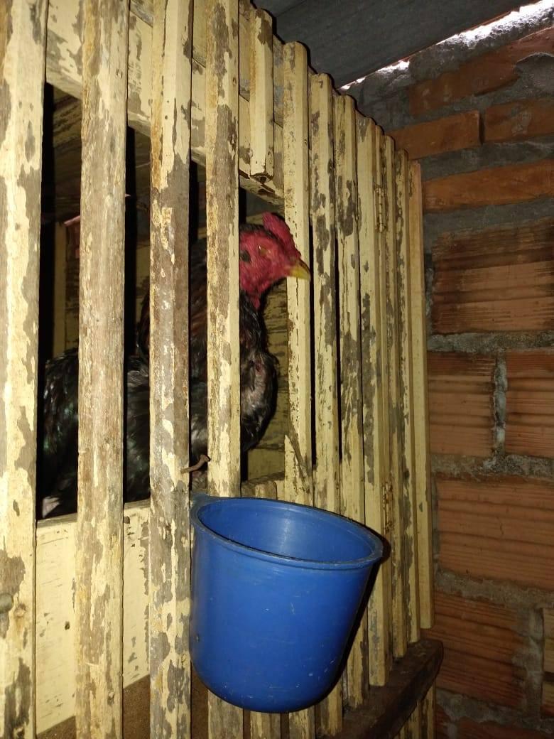 Polícia Militar Ambiental aplica multa de R$ 51.000,00 por maus tratos em galos na cidade de Cândido Mota